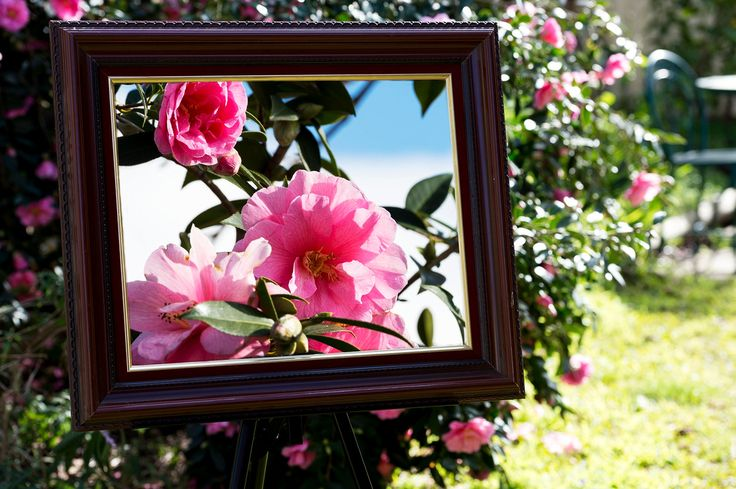 Photography Challenge Week 31: Frame Within A Frame:  Nature's Masterpiece.  Featuring my lovely pink camellia flowers!