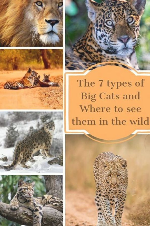 The Big Cat Family Represents Some Of The Most Magnificent Animals On Earth Learn About The Seven Types Of Big Cats In 2020 Wild Cat Species Big Cats Big Cat Species