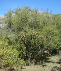 Espino: Especie resistente a la sequía,crece formando estepas desde III a VIII región(Chile), puede alcanzar 6m altura y 45cm diámetro. Corteza de color café pardo. Posee dos espinas en la base de las hojas. Las flores son hermafroditas. El fruto, llamado quirica o quirincha,  legumbre  de color oscuro,  contiene semillas parecidas a un poroto de color café. Dispersión: principalmente roedores. Utilización: carbón, artesanía y muebles, madera muy dura y de color oscuro.  Caven: nombre…