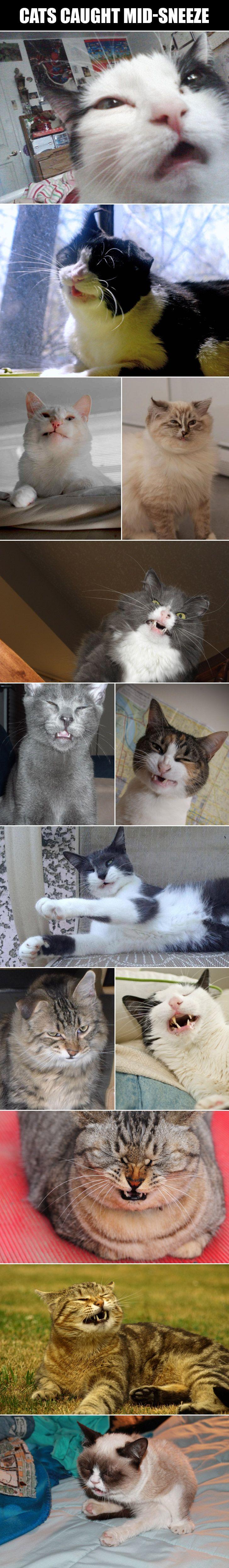 Cats caught mid-sneeze.