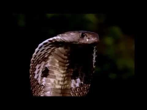 Cobra Vs Rat Snake - Cobra Vs Rattlesnake Fight