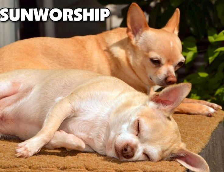 Sunworshipping dogs via Chihuahua Ha Ha on Facebook at www.Facebook.com/ChihuahuaHaHa
