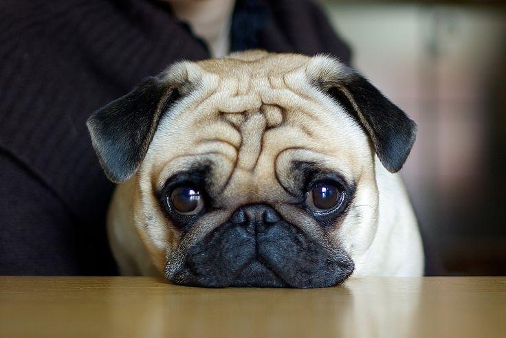 Ideal para quem também possui a personalidade mais sedentária, como ele. É um animal fácil de treinar, pois é inteligente e obediente.