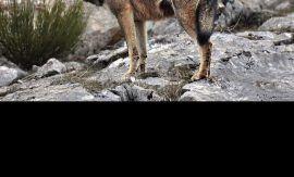 Lobo ibérico. (Foto: Andoni Canela. WWF España).