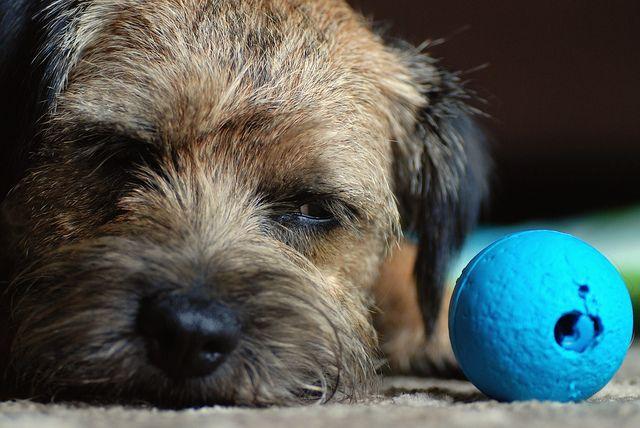 Border Terrier #Dogs #Puppy