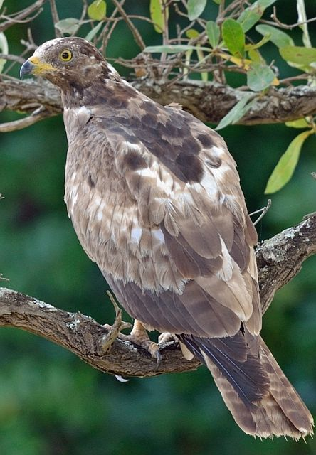 European Honey Buzzard               Pernis Apivorus                 Wespedief