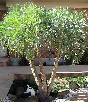 South African Cabbage Tree- Cussonia paniculata These make a beautiful focal point with their attractive gnarled trunk and grey leaf. Slow growing, they would be shown off at their best in a rock and large boulder garden. Native to South Africa. Cussonia paniculata is an unusual evergreen shrub with a large boldy textured, grey leaf. The leaf has medicinal purposes however some parts of the plant are poisonous if ingested. They will need protection from moderate to hard frosts.
