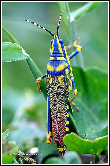 The grasshopper is an insect of the suborder Caelifera in the order Orthoptera. To distinguish it from bush crickets or katydids, it is sometimes referred to as the short-horned grasshopper. Species that change colour and behaviour at high population densities are called locusts. Painted grasshopper, India.