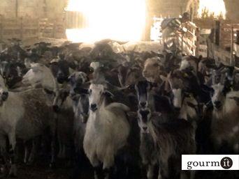 Treasure Peninsula – transhumance cheese in Abruzzo « Gourmit