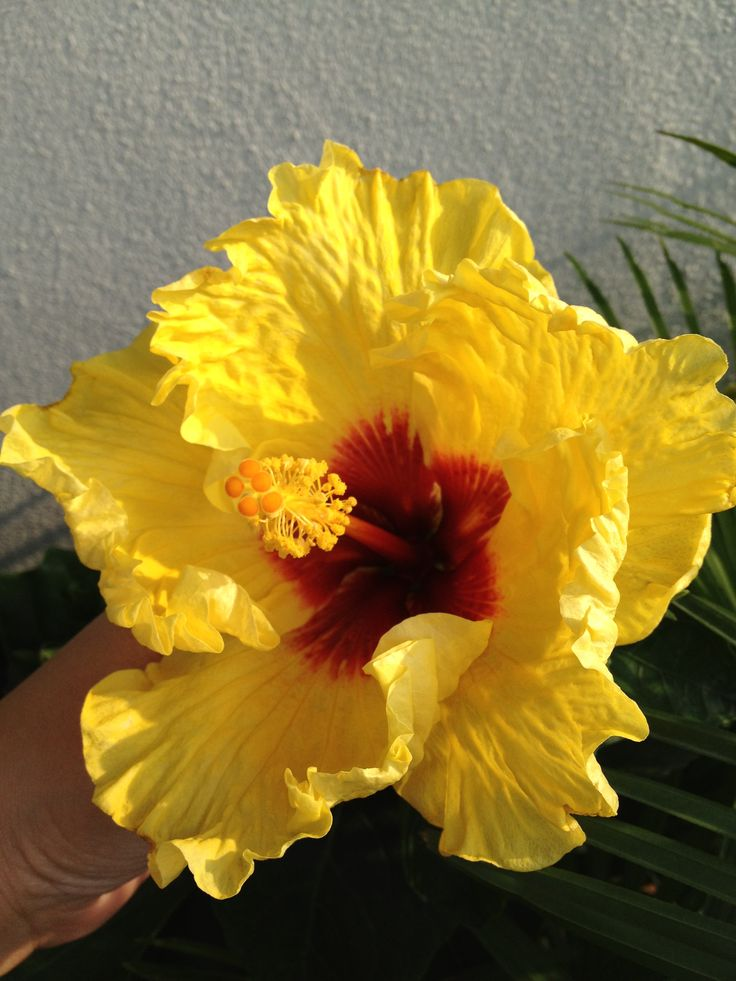 Yellow hibiscus with red center | Hibiscus and garden ...
