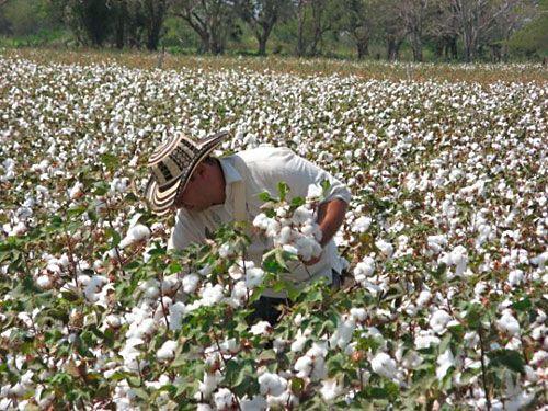 Siembra de algodón, Colombia