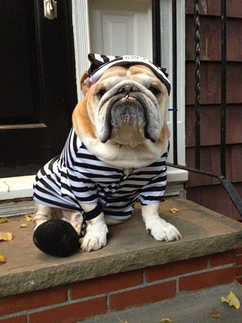 #Bulldogs costume