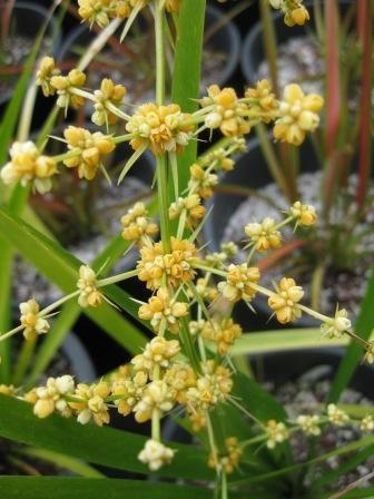 Lomandra longifolia 'Katrinus Delux' • Australian Native Plants Nursery • Plants • 800.701.6517