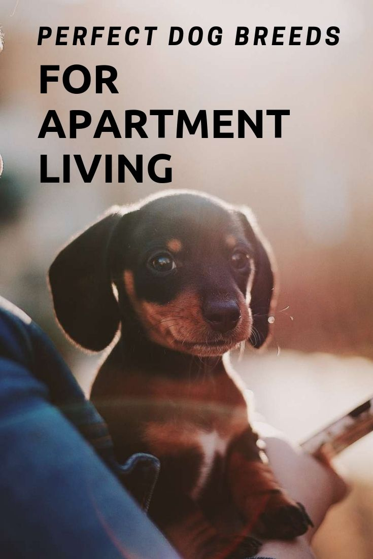 Perfect Dog Breeds For Apartment Living Quiet Dog Breeds Dogs Dog Breeds