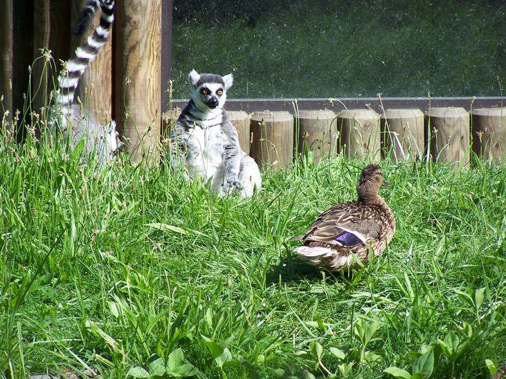 Lemury i kaczka
