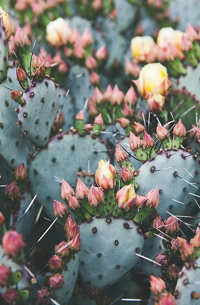 Cactus Photography, Bohemian Print, Southwest - cactus flowers are such a rare and beautiful site!!