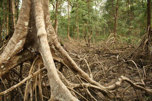 Mangue - Soure - Marajó Island, Pará