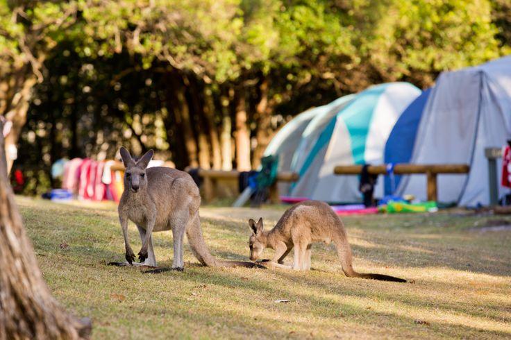 Kangaroos at Cave Beach campground   Booderee National Park