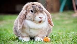 Resultado de imagen para conejo de orejas caidas blanco
