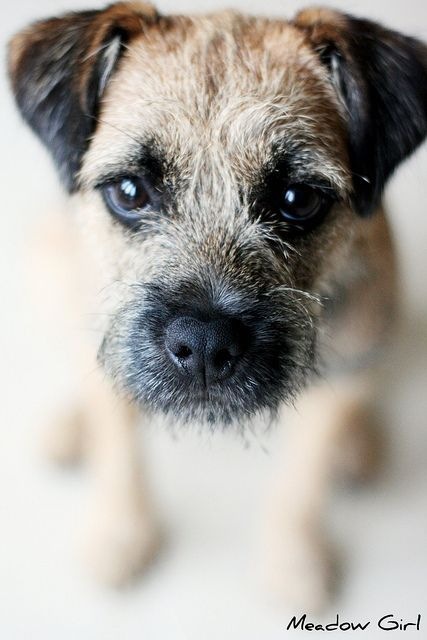 Border Terriers...one of the best little known breeds