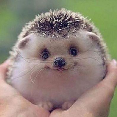 Smiling Hedgehog   foto   Pinterest