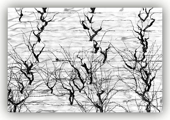 Videiras da Região Demarcada do Dão, na encosta da Serra da Estrela
