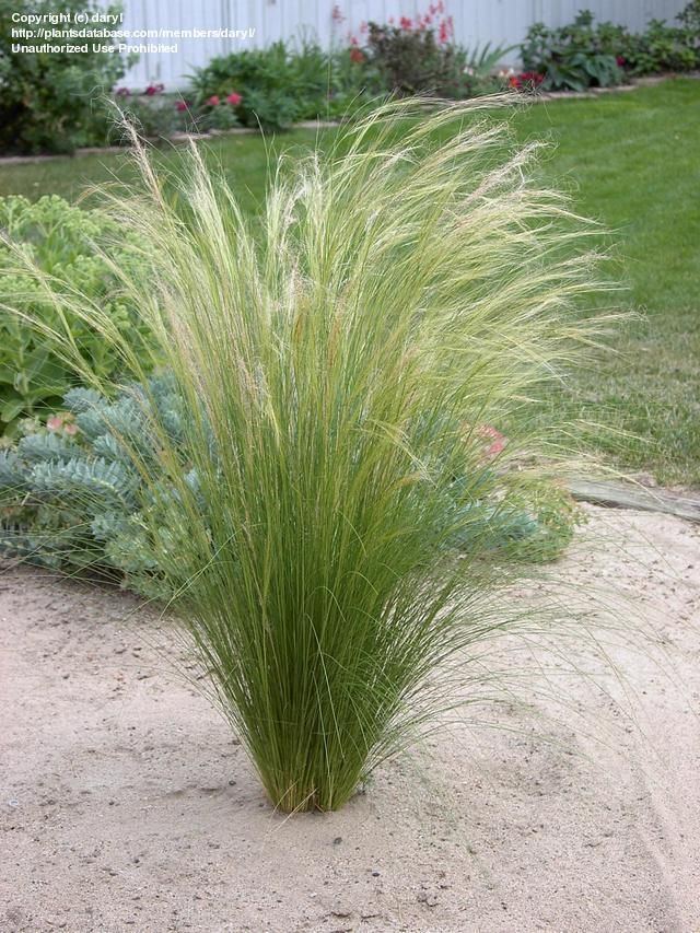17 best images about ornamental grass on pinterest for Ornamental feather grass