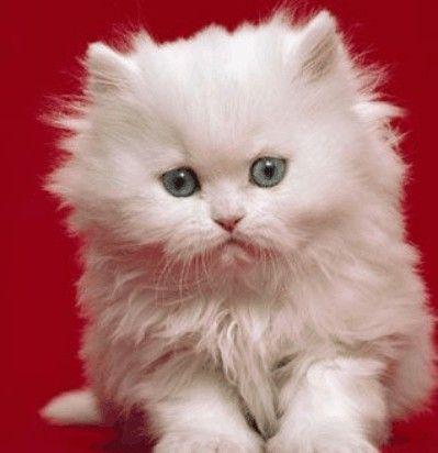 gatos persas 8 animais                                                                                                                                                                                 Mais