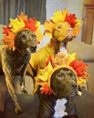 Daily Pit Post 9.22.16 #FirstDayOfFall #HappyAutumn #MustLoveDogs #Pitbull #BullyLife #LoversNotFighters