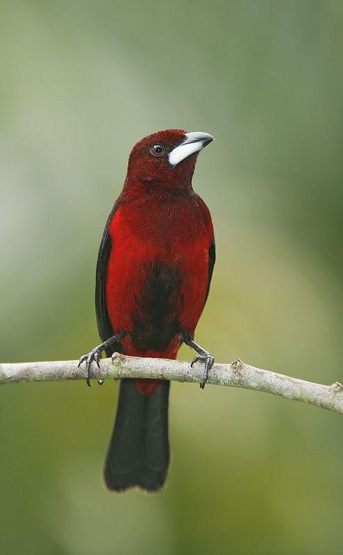 Crimson-backed Tanager (Ramphocelus dimidiatus) male
