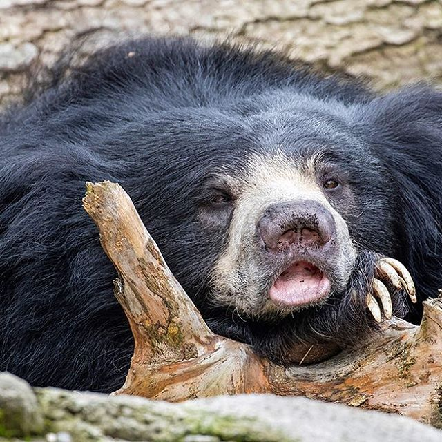 Get enough sleep?  Sloth bears can shift their #sleepcycle to adapt to the environment. They can be on a nocturnal, #diurnal or crepuscular schedule depending on the circumstances. Other bears, people or predators in the area can influence their sleep pattern. Sloth bears are usually awake and active for about eight to 14 hours each day.  #bears #animallovers #themoreyouknow #slothbear #tired #adorable