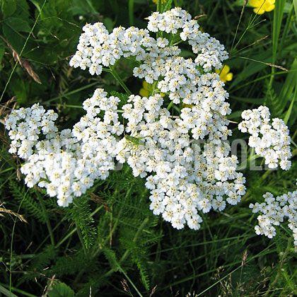 image de Achillea millefolium