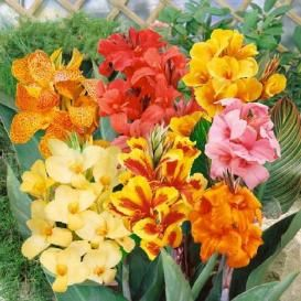 Canna Lily Bulbs For Sale | Buy Flower Bulbs in Bulk & Save