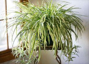 A konyha és a gáztűzhely nélkülözhetetlen növénye. Semmilyen páraelszívó nem versenyezhet 3-4 nagyobbacska csokrosindával. Ez a növény ráadásul elevenséget és jó hangulatot is biztosít számodra.