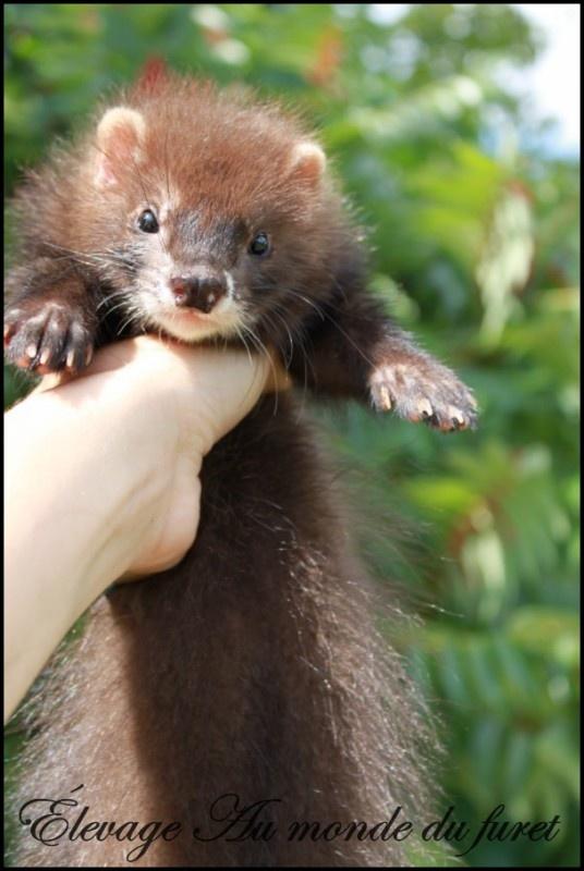 Chocolate Angora Ferret: Creature