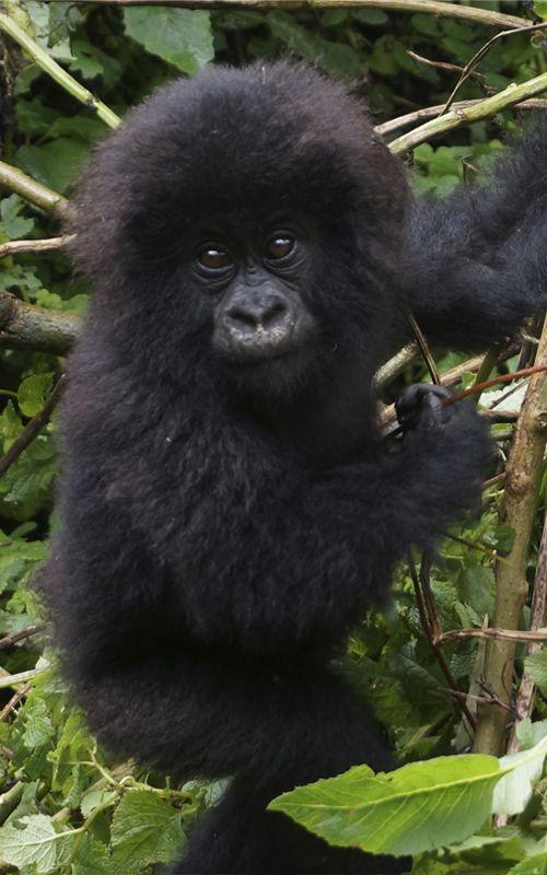 Walking among gorillas in Rwanda! Un unforgettable experience! www.espressofiorentino.com Caminando entre gorilas en Ruanda! Una experiencia inolvidable!