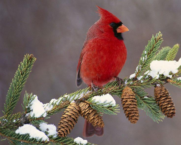 127 best images about red bird christmas ideas on pinterest - Winter cardinal wallpaper ...