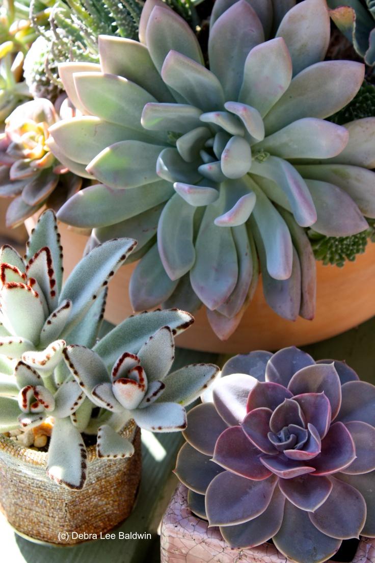 Pachyveria sp., Kalanchoe tomentosa, Echeveria 'Perle von Nurnburg' ....beautiful combination!