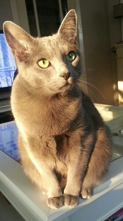 Our Russian blue cat