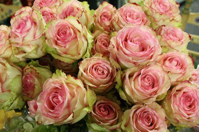 Esperance Rose | Pink Esperance Roses