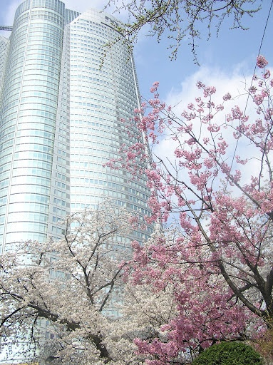 Cherry Blossoms during Oracle OpenWorld Tokyo 2012.