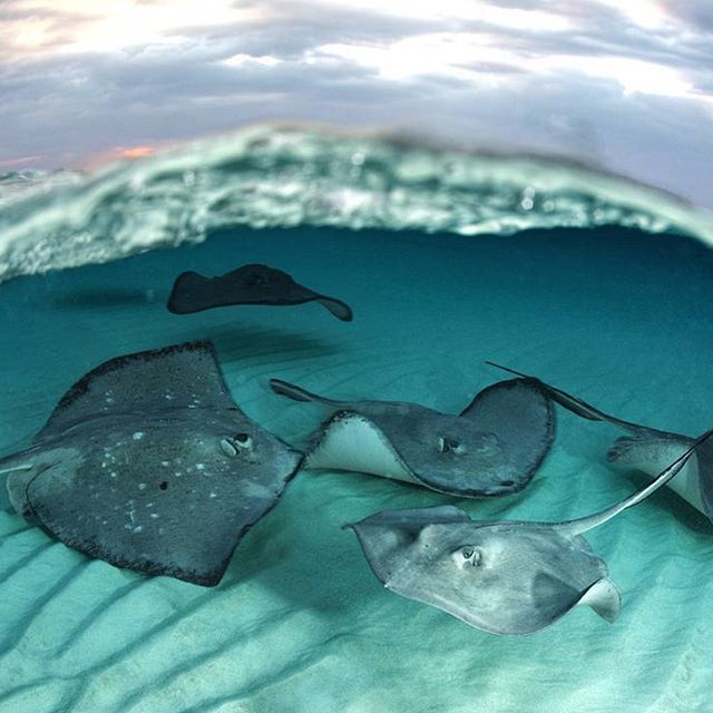 Like their cousin the shark, stingrays do not have bones, their skeletons are instead made of cartilage.