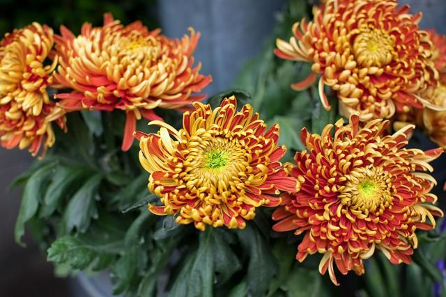 The chrysanthemums covered here are hardy mums, a good choice for fall flowers in the North. Learn about their care: dividing, pinching, etc.