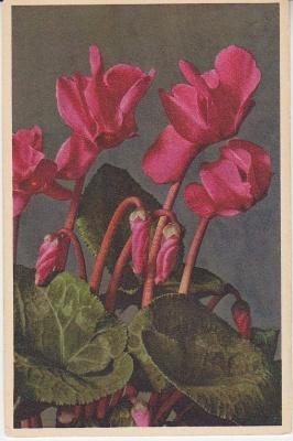 Thor E Gyger Postcard - 1685 Cyclamen persicum - Cyclamen - Ciclamino