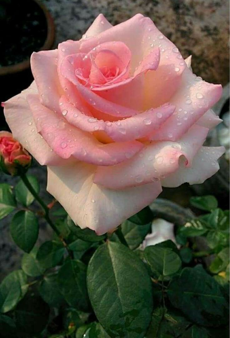 2980 besten rosen bilder auf pinterest sch ne blumen sch ne rosen und gartendekorationen. Black Bedroom Furniture Sets. Home Design Ideas