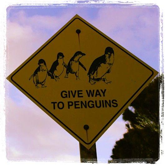 Penguin Road Safety on Granite Island #victorharbor #FleurieuPeninsula #australia #southaustralia #penguin #graniteisland