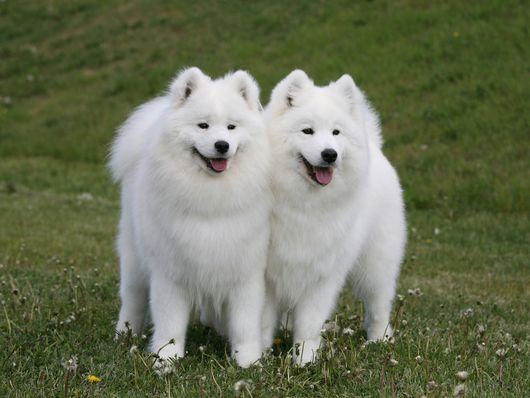 Samoyed dogs! cute!
