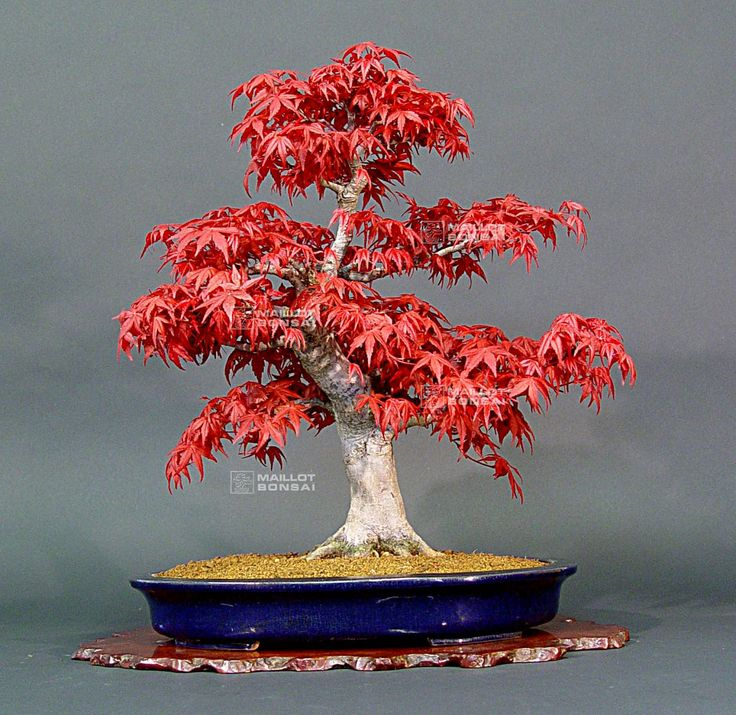 1000 id es sur le th me bonsai erable sur pinterest bonsai exterieur erable du japon et bonsa - Erable rouge du japon ...