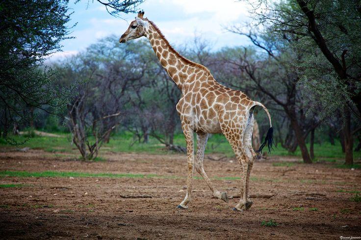 Girafe/Kalahari - NAMIBIA by Vincent Lemonde  on 500px