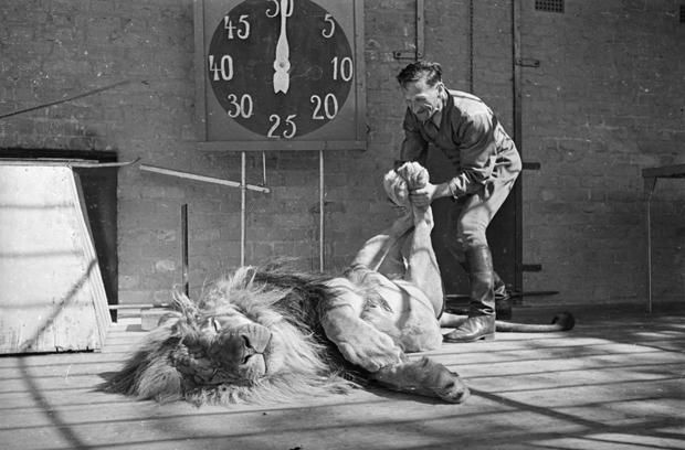 1939: Habiba, a ten year old lion at Chessington Zoo in Surrey relaxes while keeper Hans Brick manipulates its hind legs.